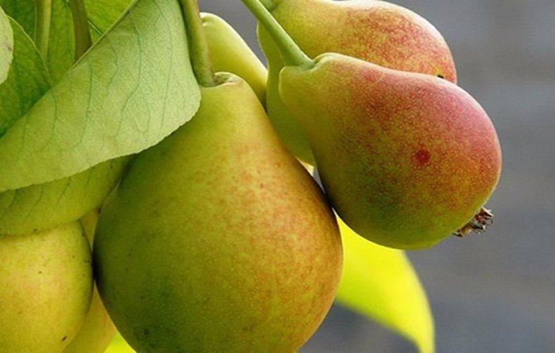О груше пакхам: описание сорта, где растет, агротехника выращивания