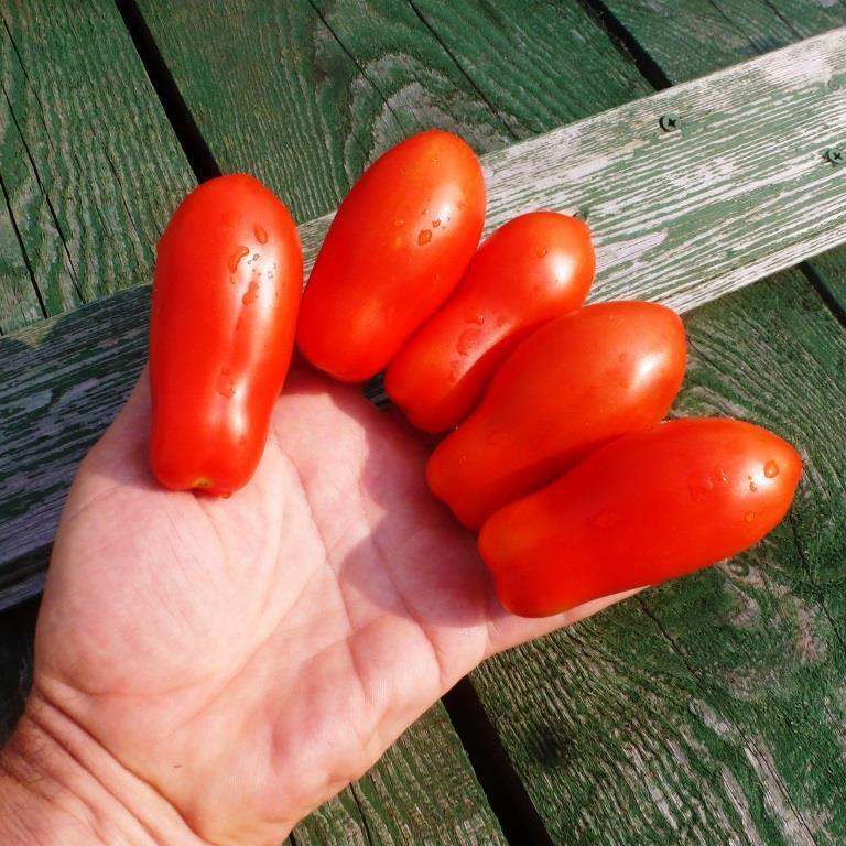 Томат дамские пальчики