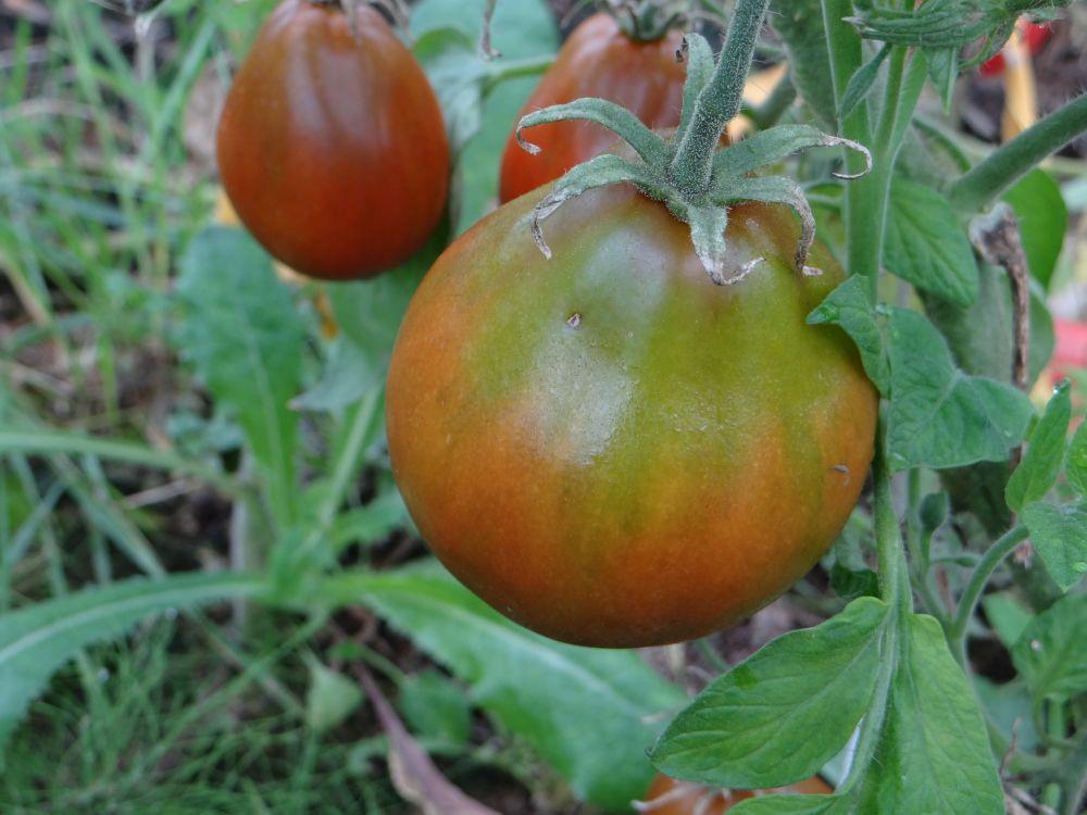 Томат черный барон: описание сорта и его выращивание, фото русский фермер