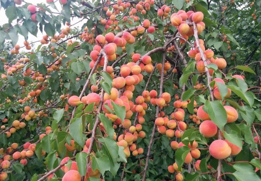 Какие сорта персиков можно выращивать в подмосковье - сад и огород