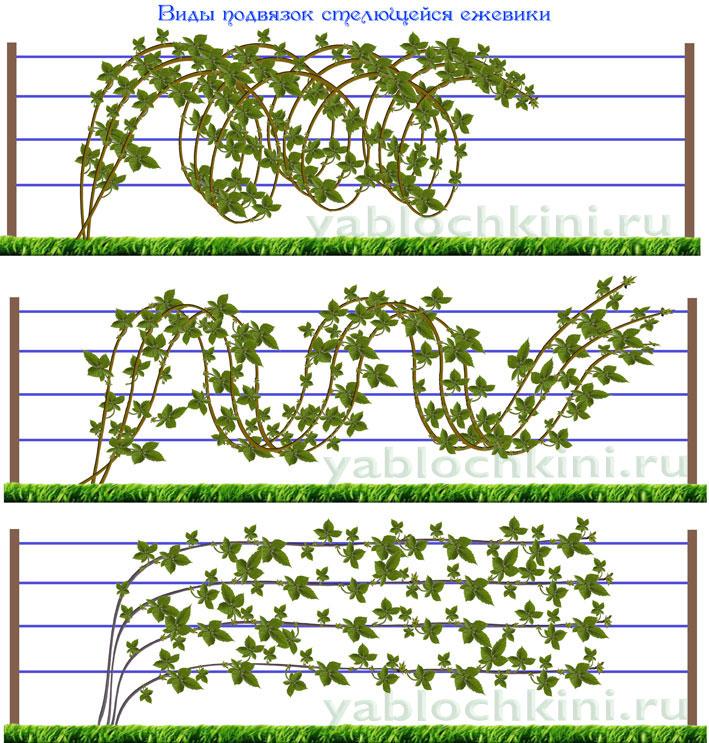 Уход за ежевикой весной и летом: что делать, чтобы был хороший урожай