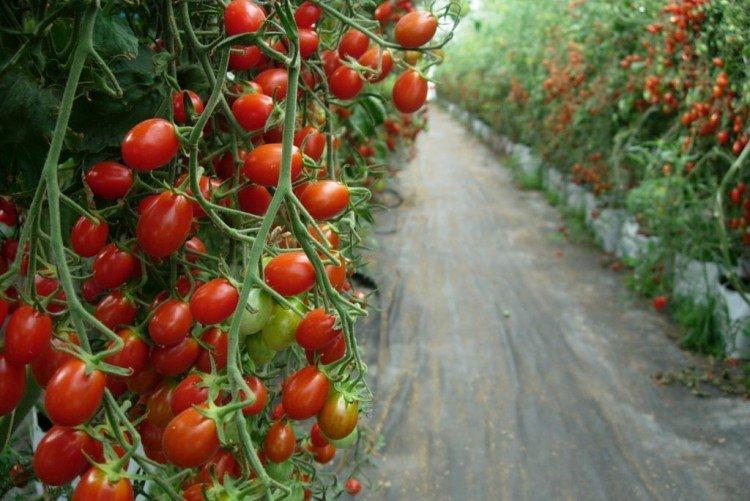 Обзор лучших ранних сортов помидор, как и когда их сажать - огород, сад, балкон - медиаплатформа миртесен