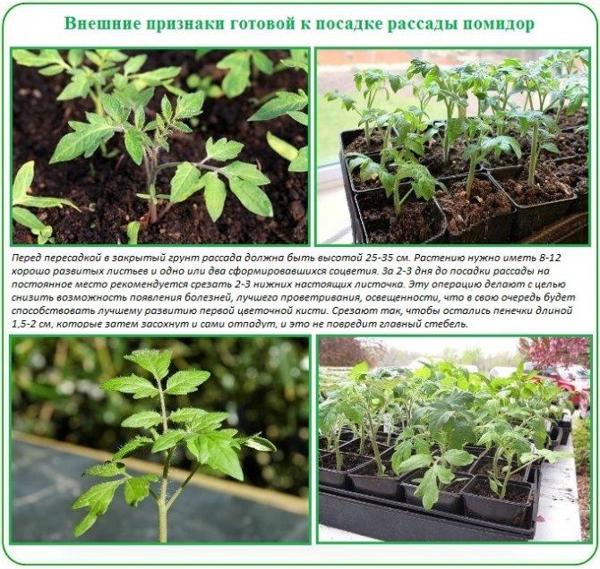 Агротехника выращивания крепкой рассады капусты в домашних условиях