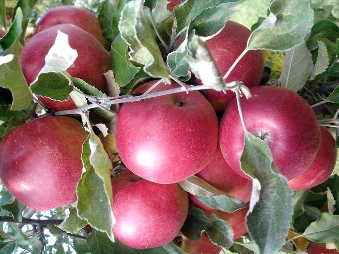 Яблоня джонатан: описание сорта, фото, отзывы садоводов
