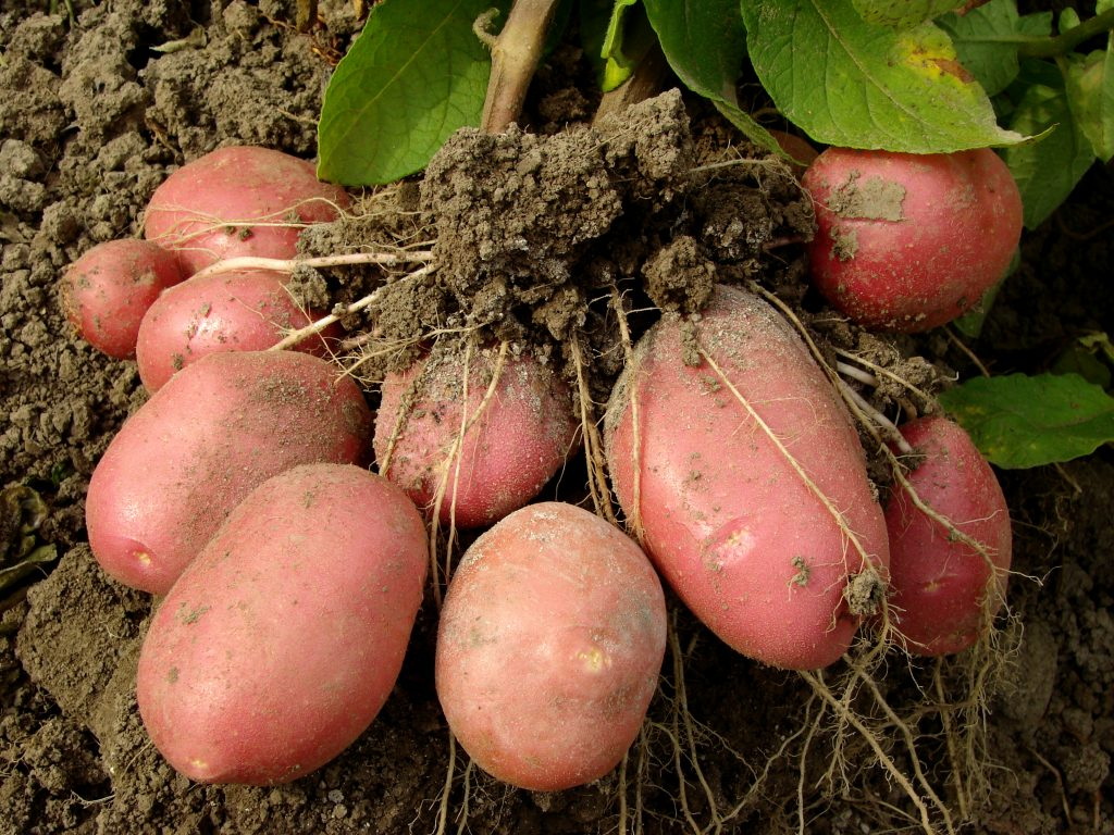 ✅ манифест: описание семенного сорта картофеля, характеристики, посадка - tehnomir32.ru