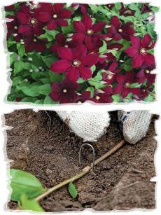 Как вырастить клематис из семян в домашних условиях: советы, видео