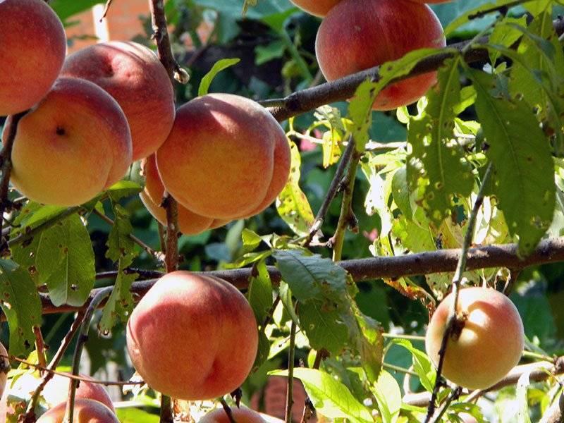 Нектарины вырастить в подмосковье. сорта персика, растущие в подмосковье | дачная жизнь