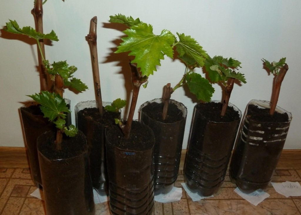 Размножение винограда черенками в домашних условиях: как правильно размножать весной, описание и особенности
