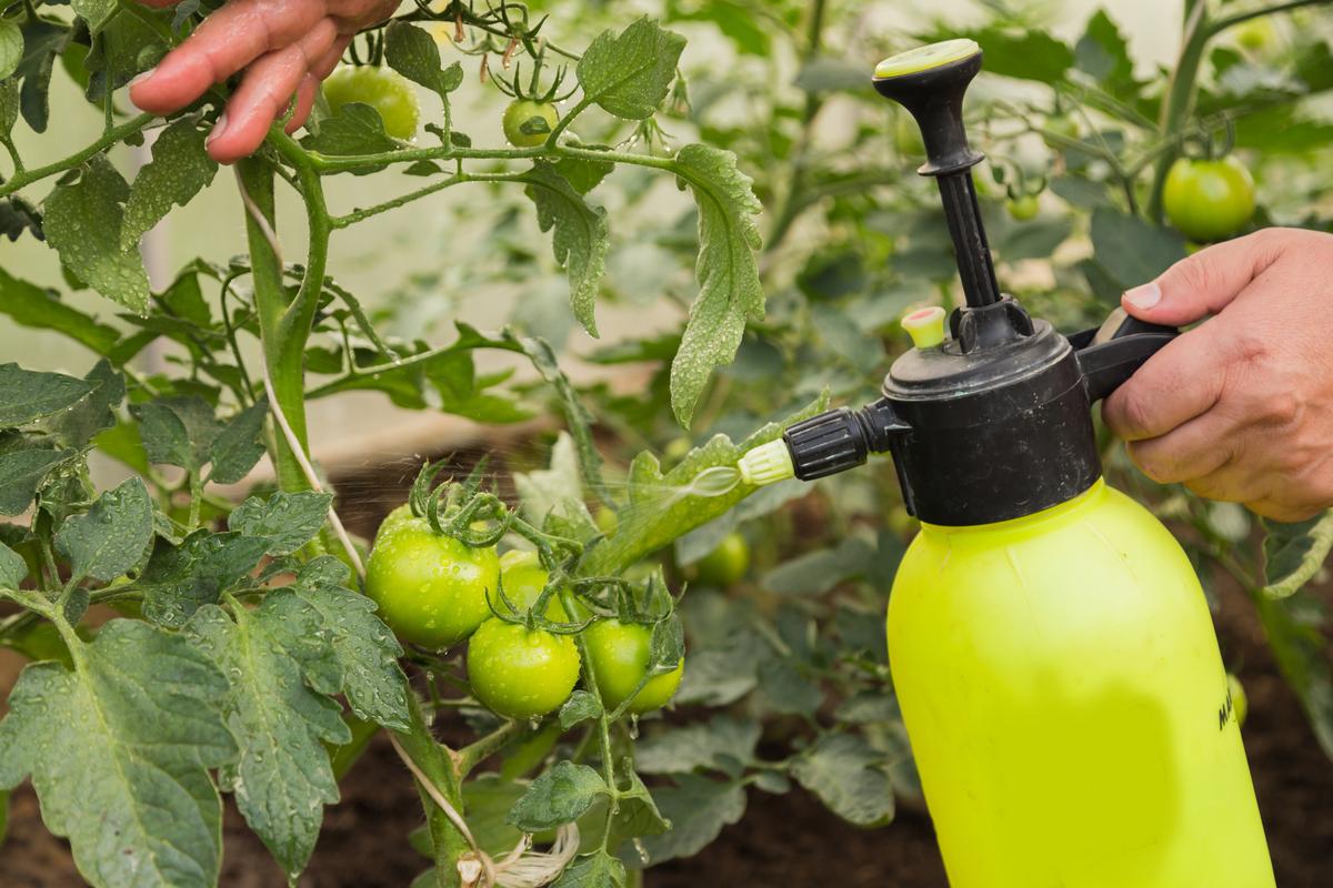 Уход за рассадой, полив, подкормка, закаливание, защита от болезней