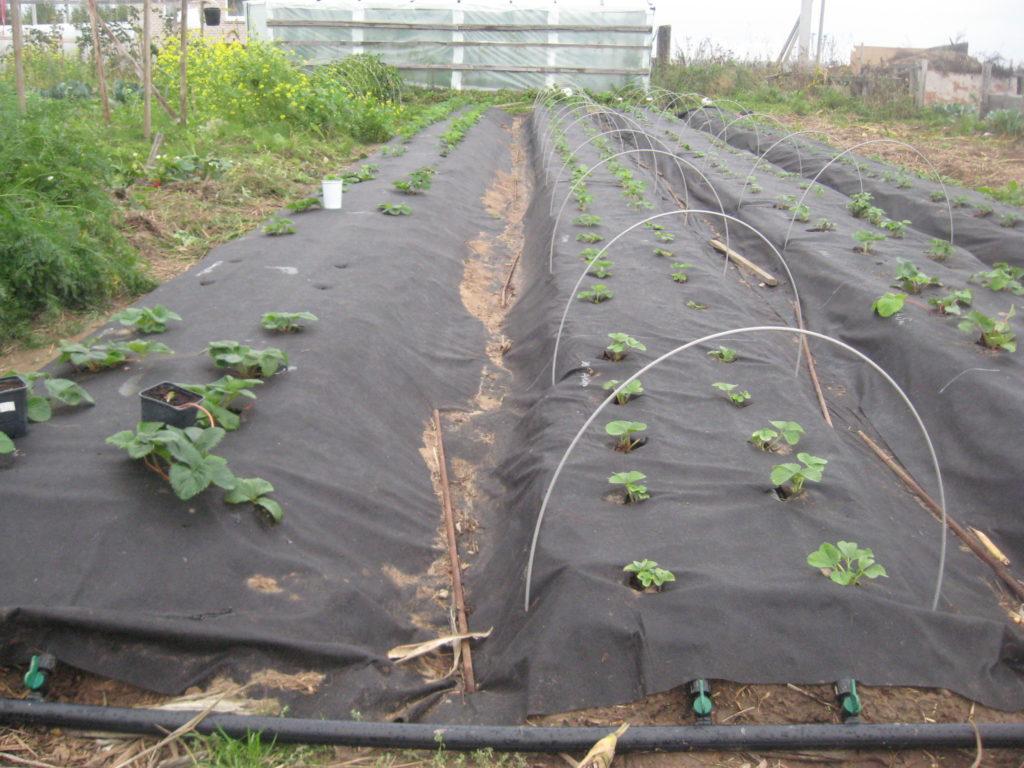 Укрывной материал для клубники от сорняков: как и что использовать