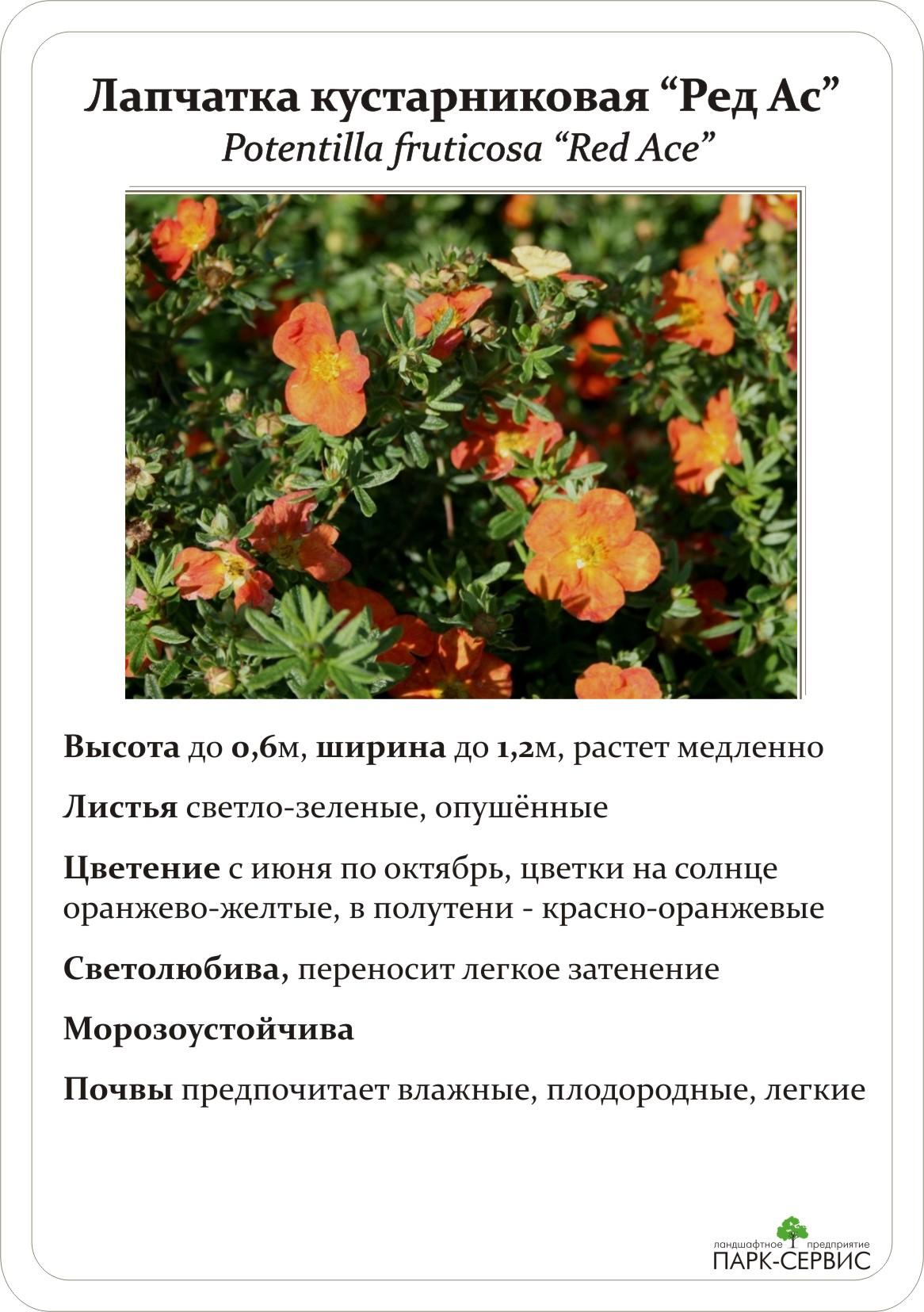 Лапчатка - популярные сорта и нюансы их выращивания своими руками (125 фото)