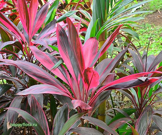 Цветок кордилина фрутикоза уход в домашних условиях виды кордилины фото и названия
