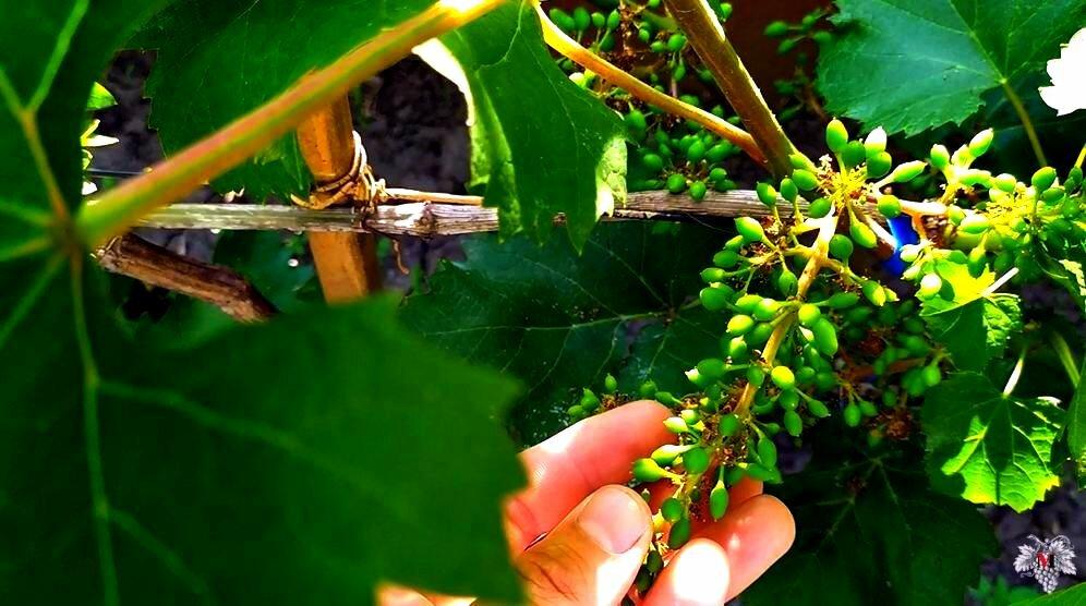 Правильный полив для хорошего урожая винограда