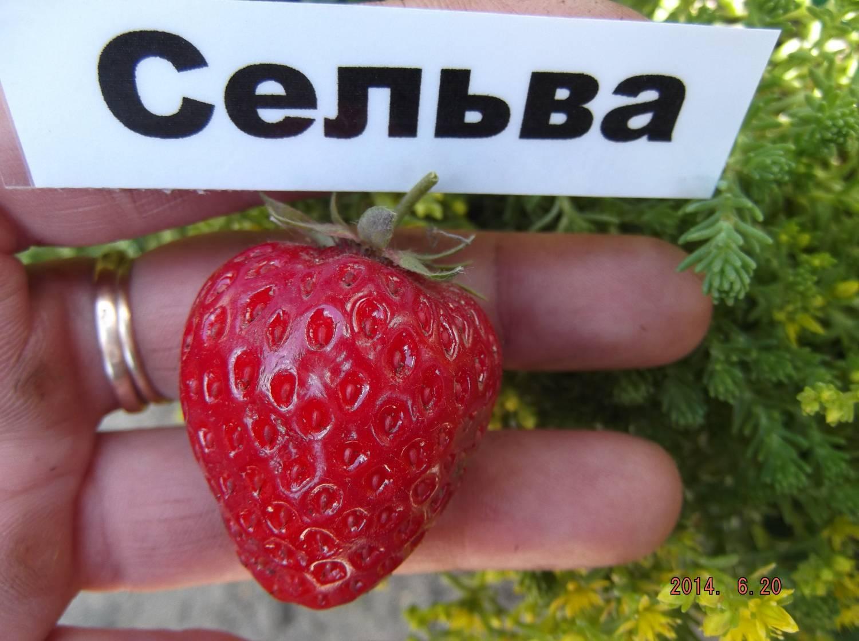 Клубника сельва: характеристики и описание сорта, отзывы садоводов