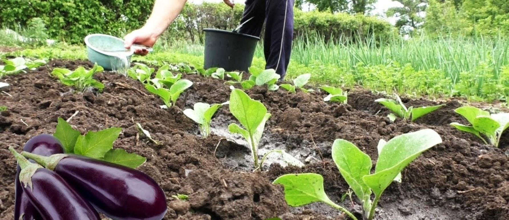Правильная посадка капусты в открытый грунт и дальнейший уход