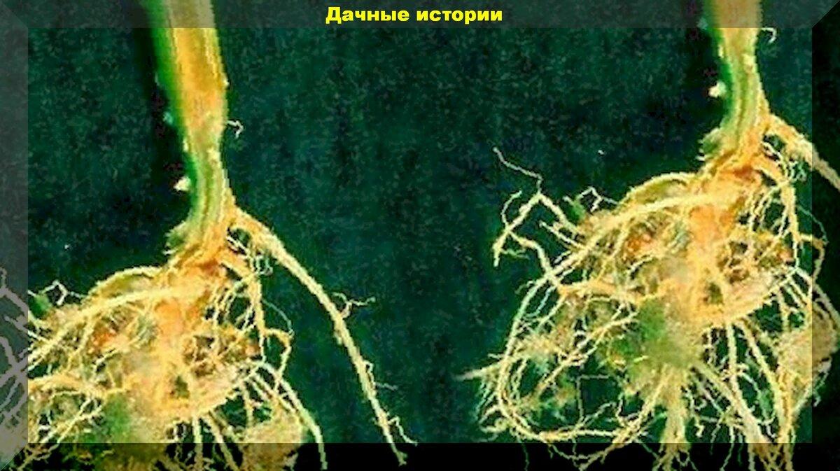 Болезни огурцов и их лечение - народные методы, препараты, профилактика