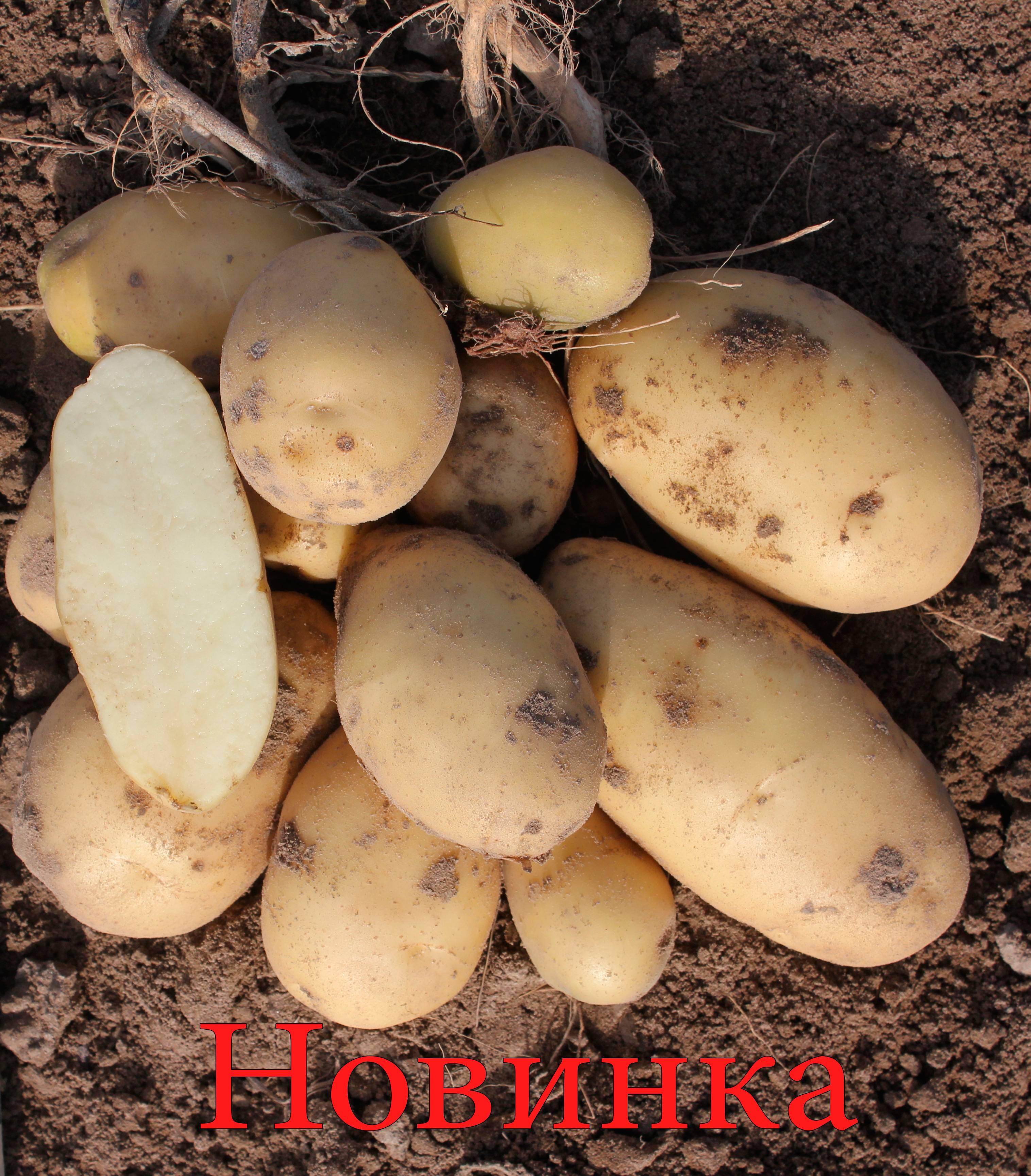 Сорт картофеля манифест: описание и характеристика, отзывы