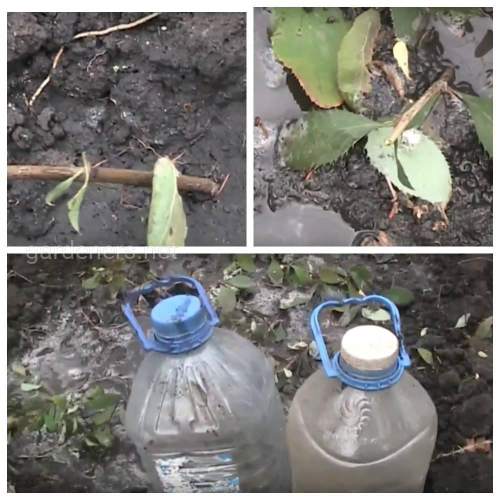 Размножение барбариса черенками летом, весной и осенью в домашних условиях (фото + видео)