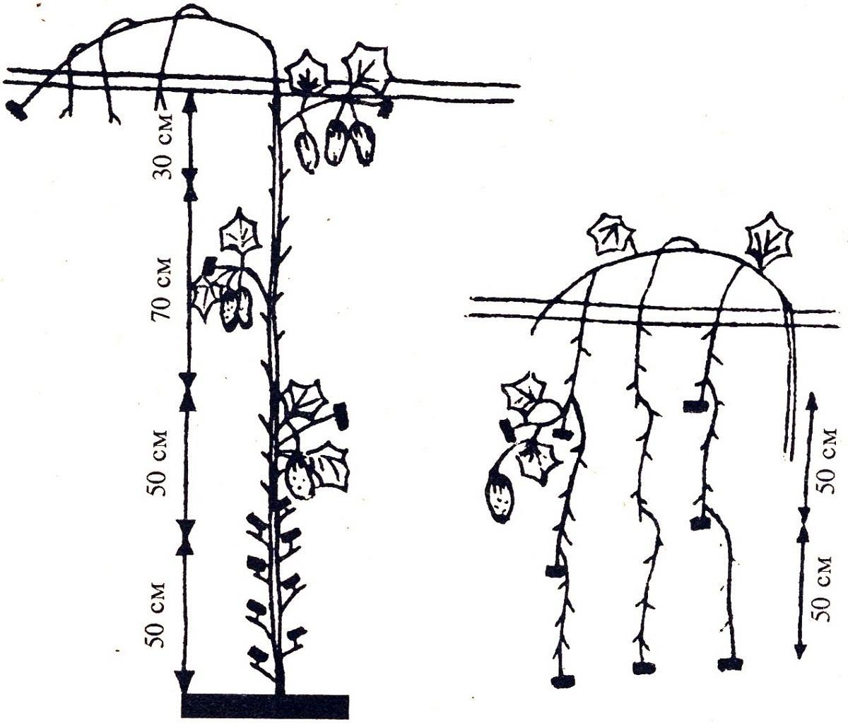 Формирование огурцов в один стебель: причины и варианты проведения