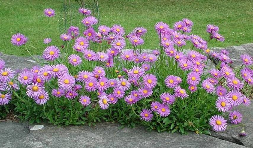 Садовая астра многолетняя: сорта с названиями и фото, как выращивать и ухаживать, карликовый и пионовидный сорт
