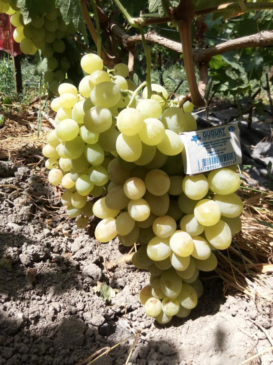 Виноград верона: описание, фото и отзывы