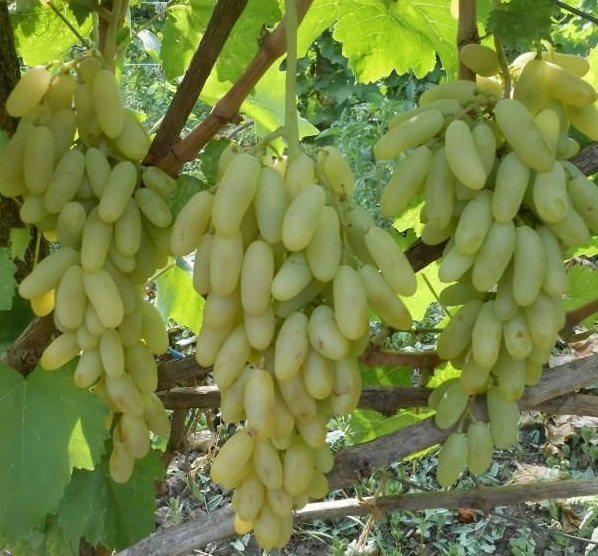 Виноград кишмиш: морозоустойчивые сорта, свойства, правила посадки и ухода
