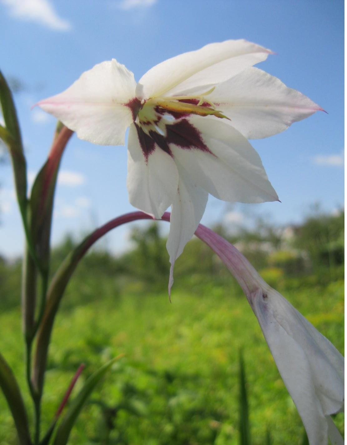 Ацидантера: описание и сорта, уход, посадка и выращивание в открытом грунте