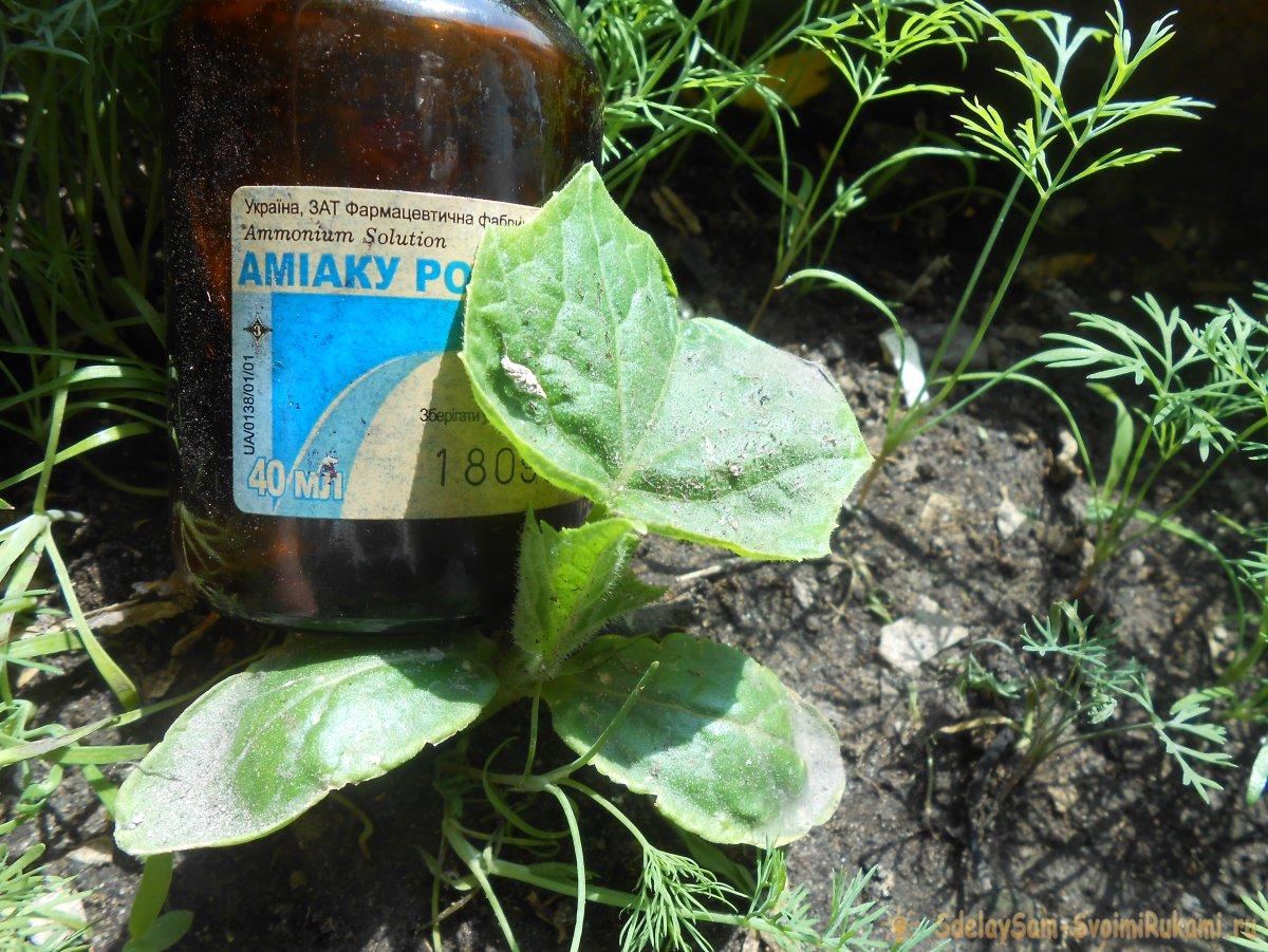 Обработка огурцов нашатырным спиртом от болезней и вредителей: правила обработки