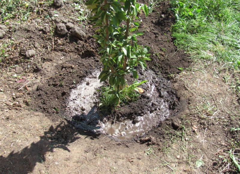 Чем подкормить абрикос весной - скороспел