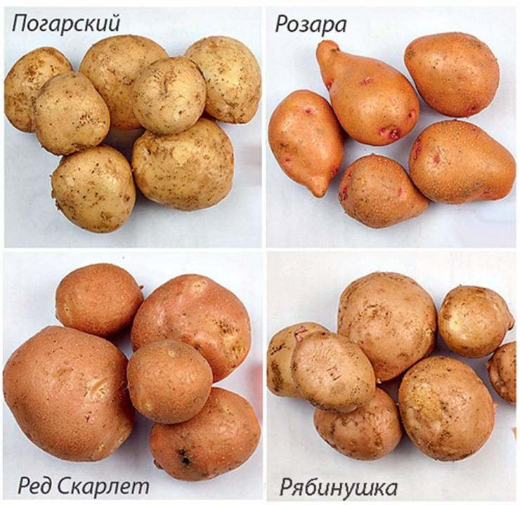 Сорт картофеля вектор: описание и характеристика белорусского вида, а также фото данного корнеплода и пошаговая инструкция по выращиванию
