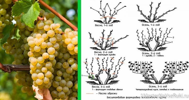Виноград монарх: описание сорта. посадка, выращивание, уход