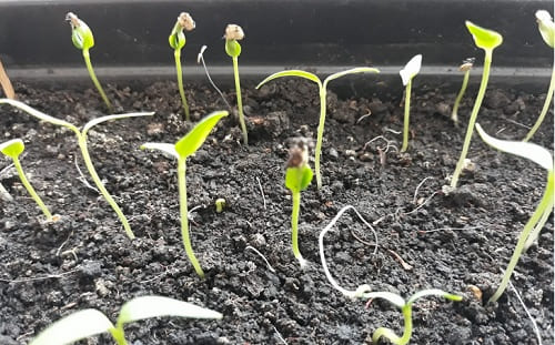 Через сколько дней всходит рассада помидоров: когда ожидать появления первых ростков томатов в домашних условиях, как ускорить или замедлить этот срок? русский фермер
