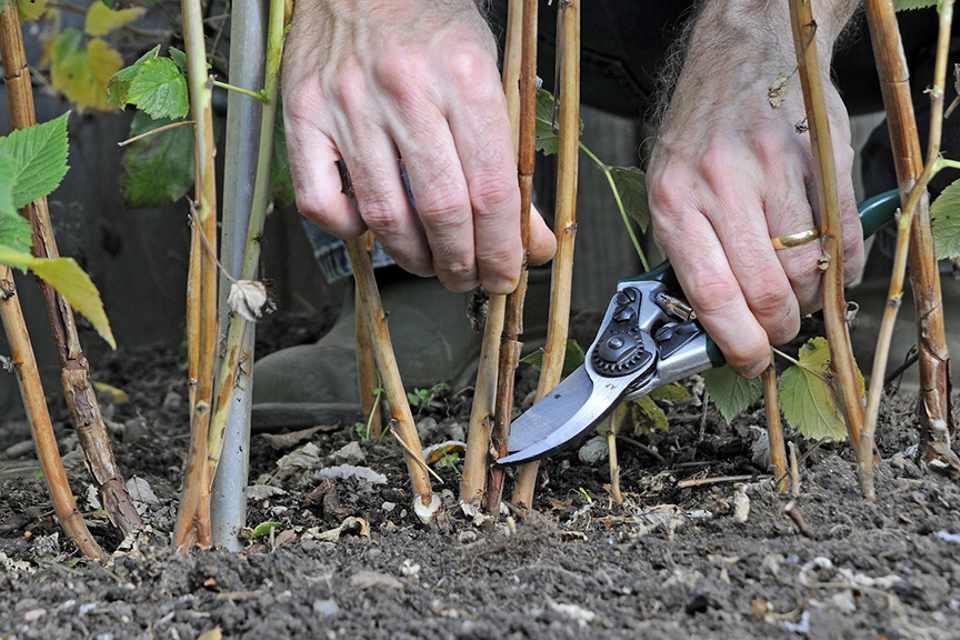 Правила ухода за малиной после сбора урожая в июле, чем обработать