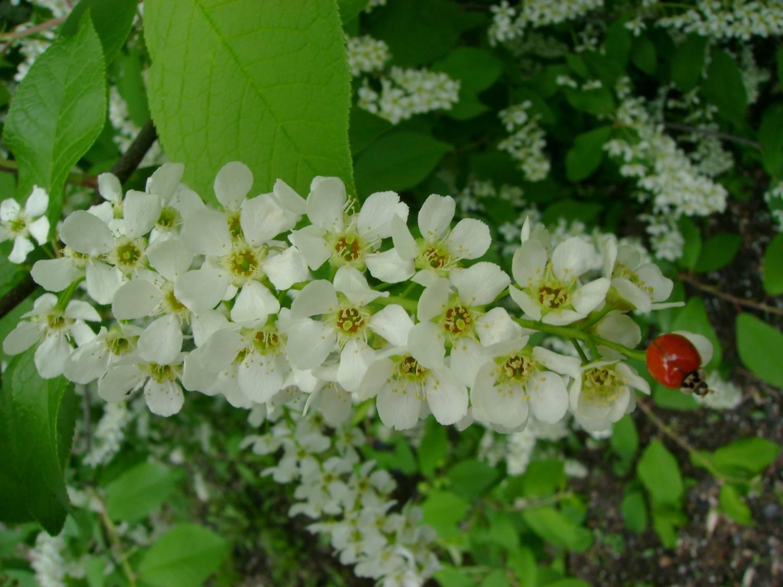 Особенности выращивания гибрида вишни и черемухи