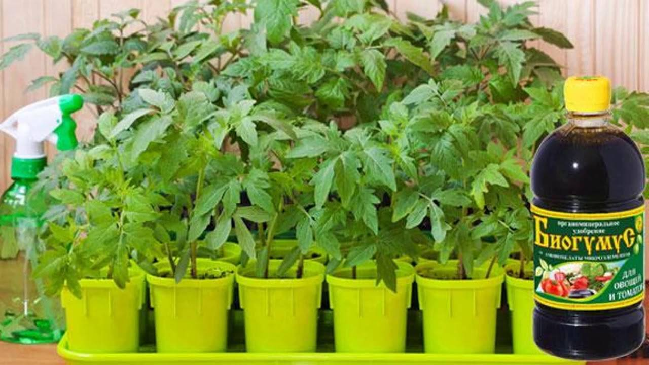 Выращивание огурцов на подоконнике - уход, подкормка, болезни