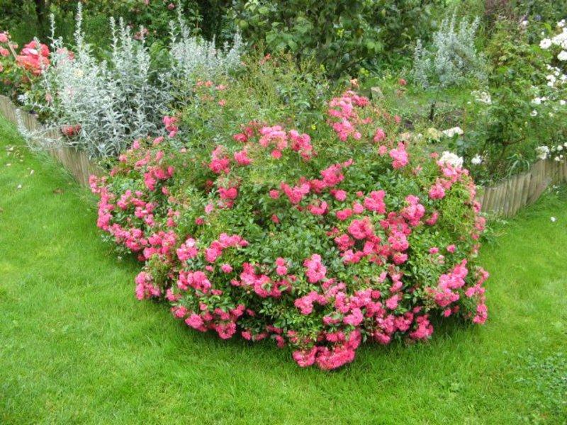 Сорта почвопокровных роз (с фото и описанием характеристик)