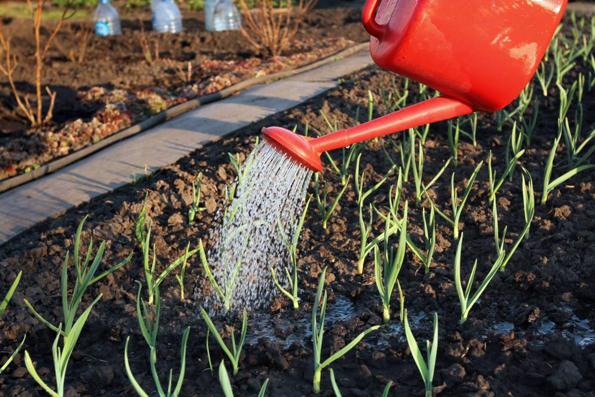 Когда сажать шпинат, как сеять семенами в открытый грунт весной, летом, осенью или зимой в сибири, на урале и других уголках россии? русский фермер
