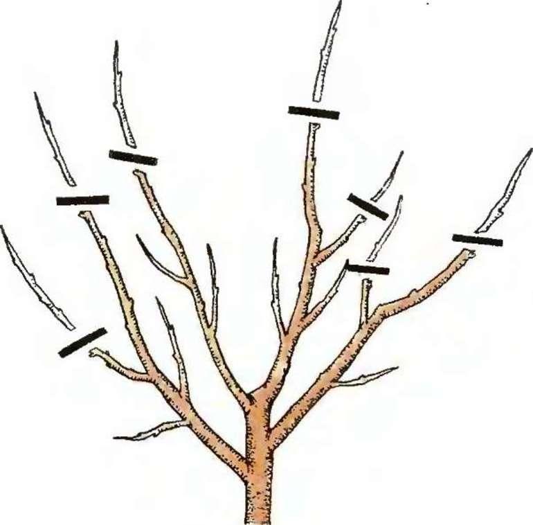 Можно ли обрезать калину осенью, какая это будет обрезка — формирующая или санитарная