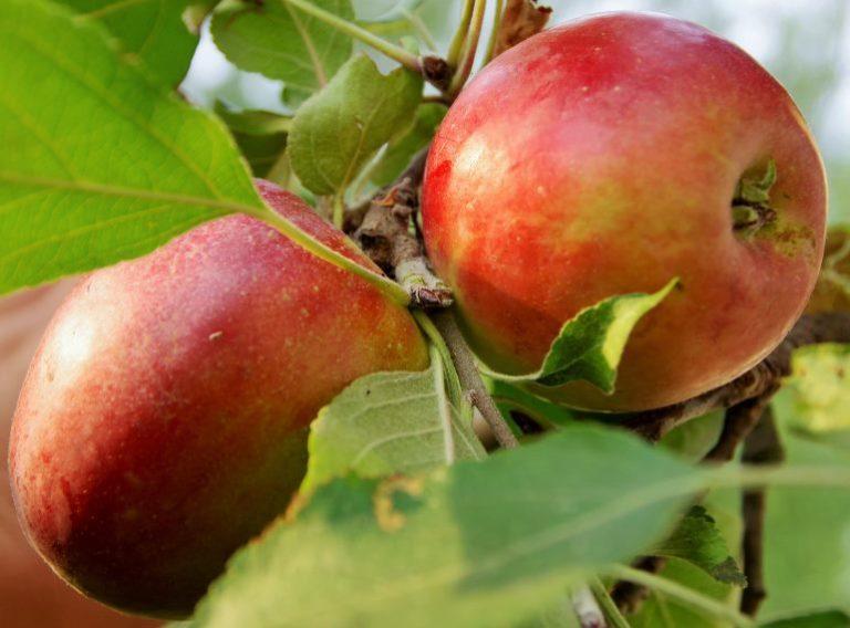 Яблоня коваленковское: описание и характеристика сорта