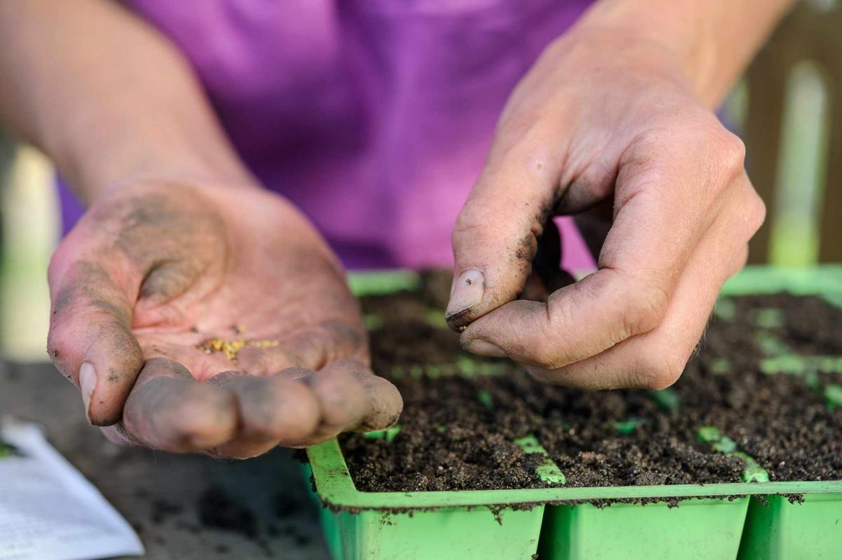 Посадка моркови весной 2019 в открытый грунт семенами: подготовка и посев |