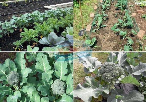 Выращивание капусты брокколи: посадка на рассаду, выращивание в отрытом грунте и теплице