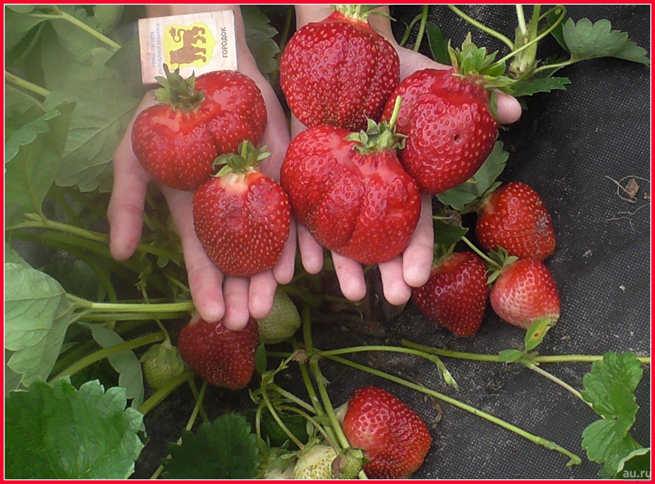 Сорт клубники азия: фото и описание, отзывы садоводов