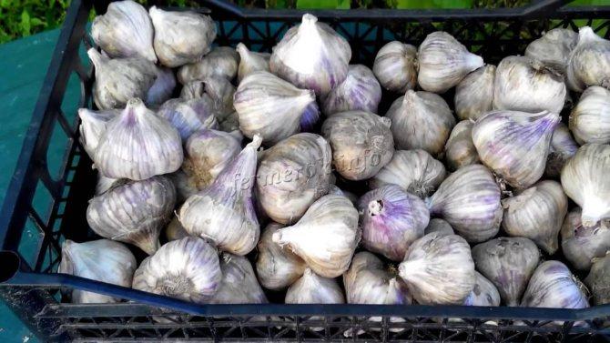 Описание сорта чеснока харьковский фиолетовый, особенности выращивания и ухода - всё про сады
