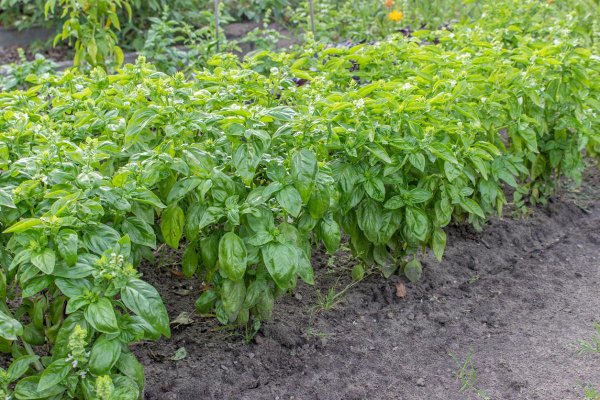 Базилик - пряная трава: посев в открытый грунт, выращивание рассады, уход, сбор урожая