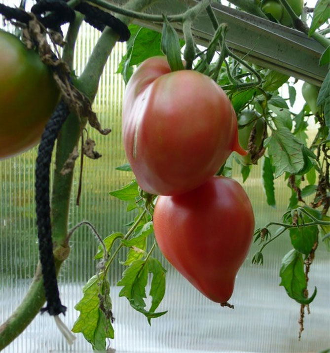 Томат мазарини: описание сорта и характеристика урожайность, отзывы о вкусовых качествах и особенностях ухода, семена помидоров мазарини кардинал