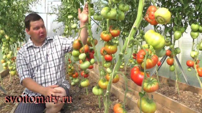 "Характеристика и описание томата ""розе"""
