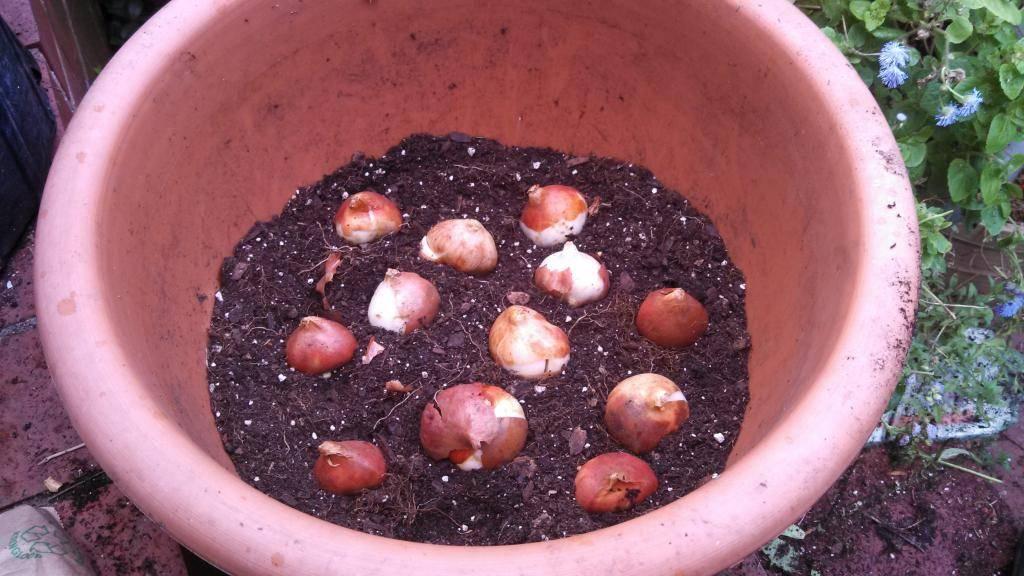 Тюльпаны под москвой. когда сажать тюльпаны осенью в подмосковье?