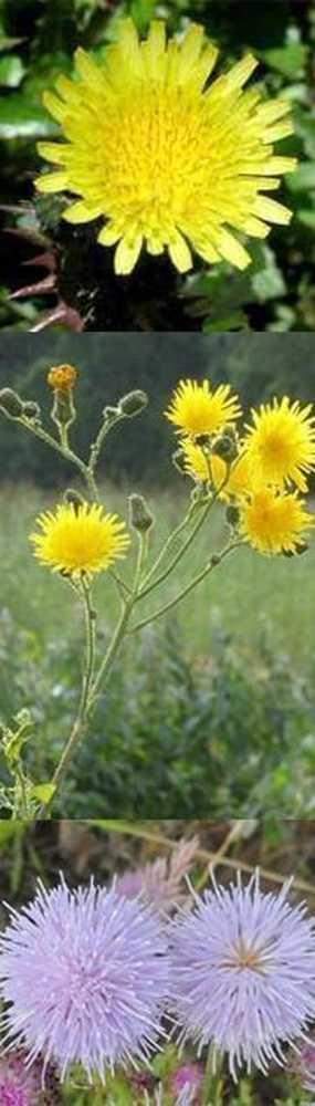 Осот: полезные свойства огородного (овощного), полевого (желтого), розового (бодяка полевого), меда, применение в народной медицине