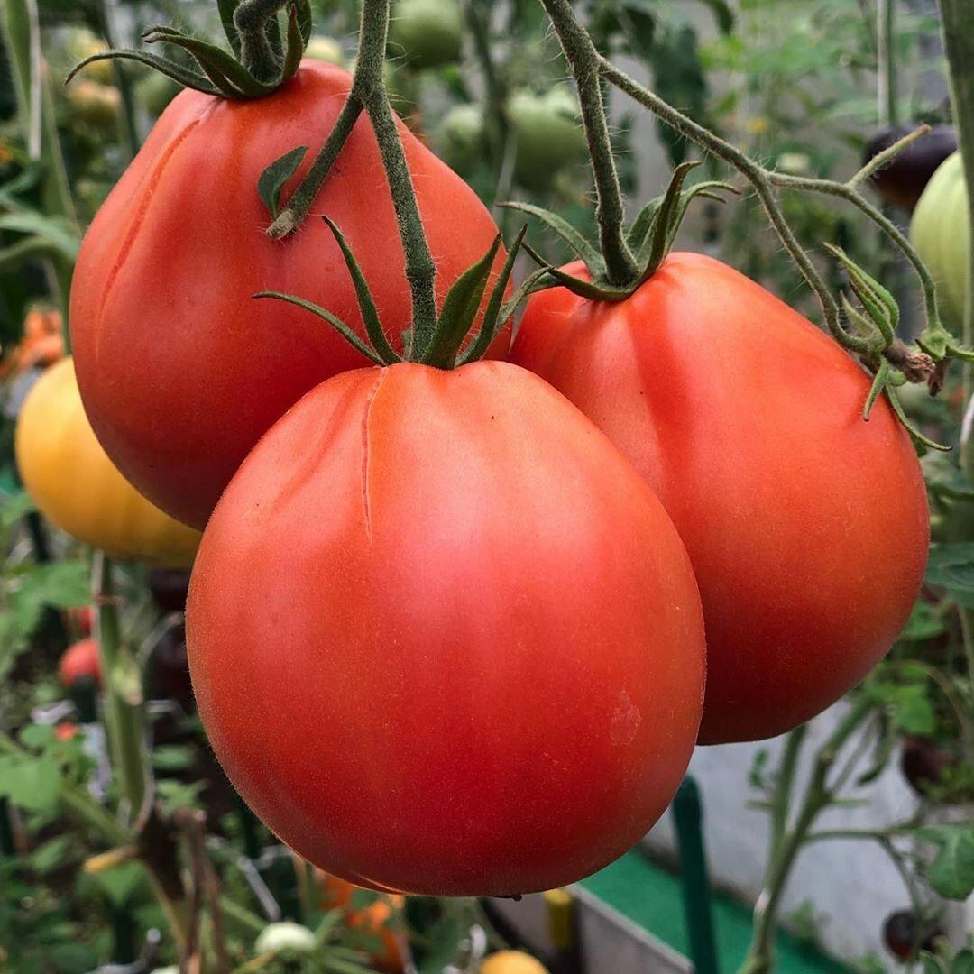 ✅ редкие семена томатов от частного коллекционера - питомник46.рф