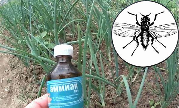 Луковая муха: как с ней бороться